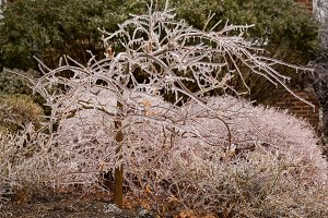 Ice forming on branches in winter