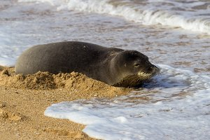 Hawaiian Monk seal on beach