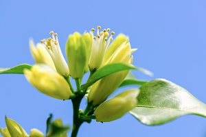 White flowers of Murraya paniculata