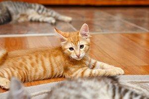 Ginger kittenand funny kitten. Pet.