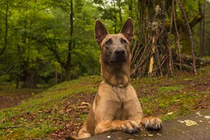 Malinois dog in the forest