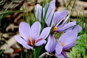 crocus, saffron flower