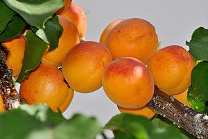 ripe apricots in the branch