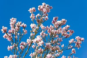 Blossoming twig of magnolia-tree