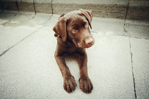 Chocolate young labrador dog