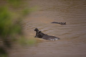 Hippos In The Mara River