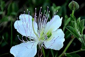splendid caper blossom