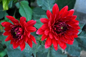 two red dahlias in the garden