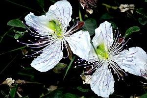 two caper blossom