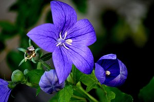 blue flower with five petals