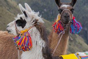 Andean camel