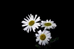 Flowers white chamomile
