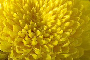 Yellow chrysanthemums on a black background