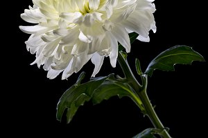 White chrysanthemum on a black background