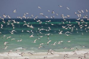 Flock Of Seagulls Galu Beach