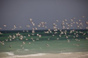 Fock Of Seagulls Galu Beach