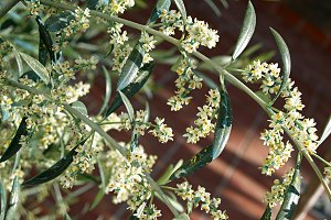flower and pollen olive