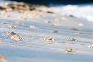 Crabs On Tiwi Beach