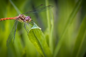 A Common Darter Dragonfly