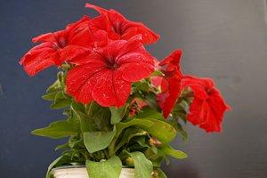 red petunia pot