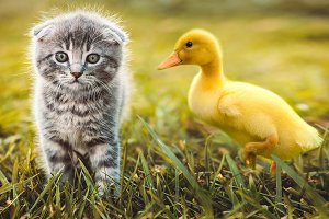 Small duckling playing with kitten