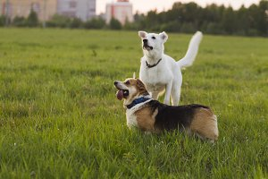 Welsh Corgi and Swiss shepherd dog on a background of green grass