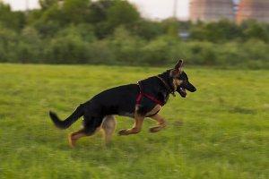 Puppy Alsatian dog on walk