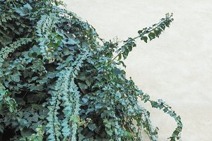 Ivy leaves background