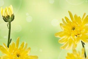 Flowering yellow chrysanthemums
