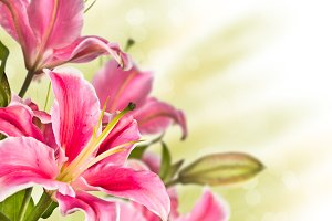 Blooming pink lily