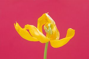 Yellow Tulip And Cerise Background