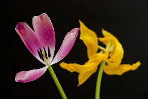 Pink Yellow Tulip Black Background