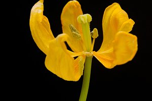 Yellow Tulip And Black Background