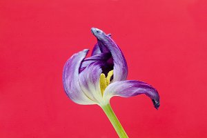 Purple Tulip And Black Background