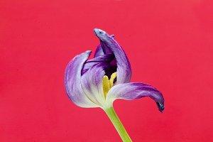 Purple Tulip And Black Background