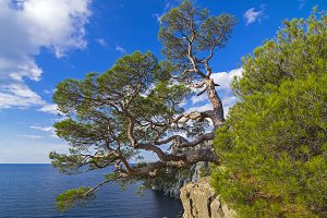 Pine on the cliff above the sea.