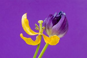 Yellow Purple Tulip And Background