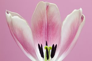 Pink Tulip Against Pink Background