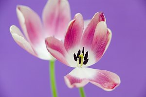 Pink Tulips And Purple Background