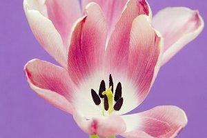 Pink Tulips Purple Background