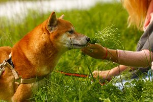Girl and dog Shiba Inu.