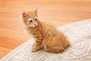 Cute redhead bobtail kitten.