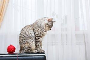 Bobtail cat sits.