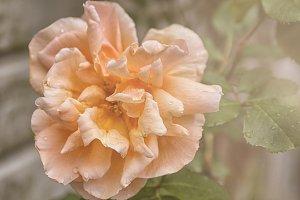 Big colorful rose