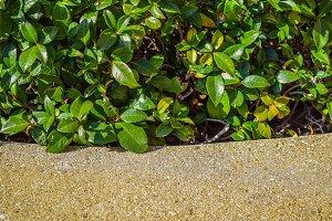 boxwood Bush on Pedestrian sidewalk