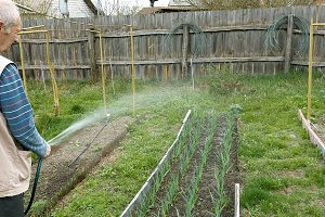 Senior elderly man waters a bed vegetable garden