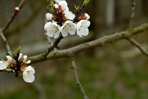 Flowers blossom on the pear fruit tree branch