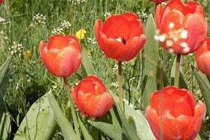 Red tulips in the garden flowerbed in the wind