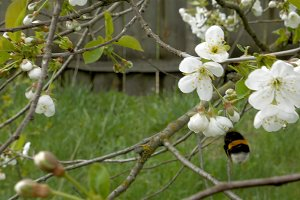 Bumblebee on cherry blossom flowers