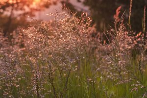 Dried grass in the wind at sunset